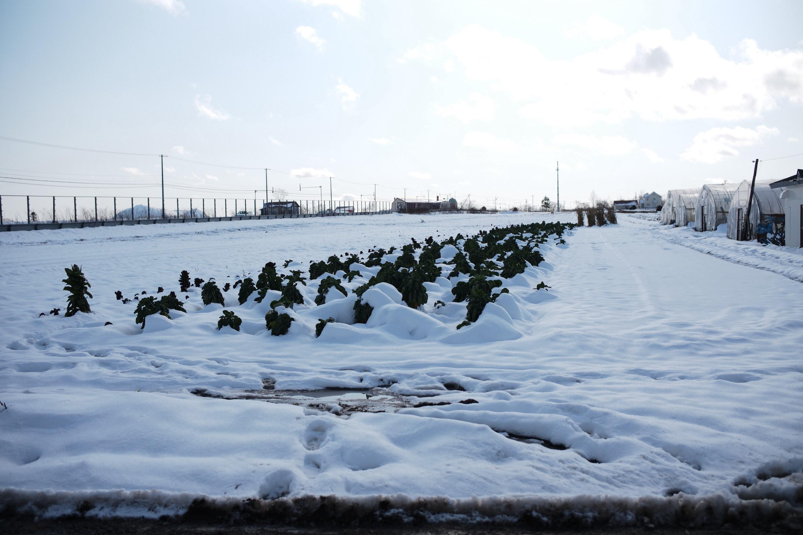 訪れた前日、雪に見舞われていたが、その下からは青々とした美味しそうな葉物野菜が顔を出す