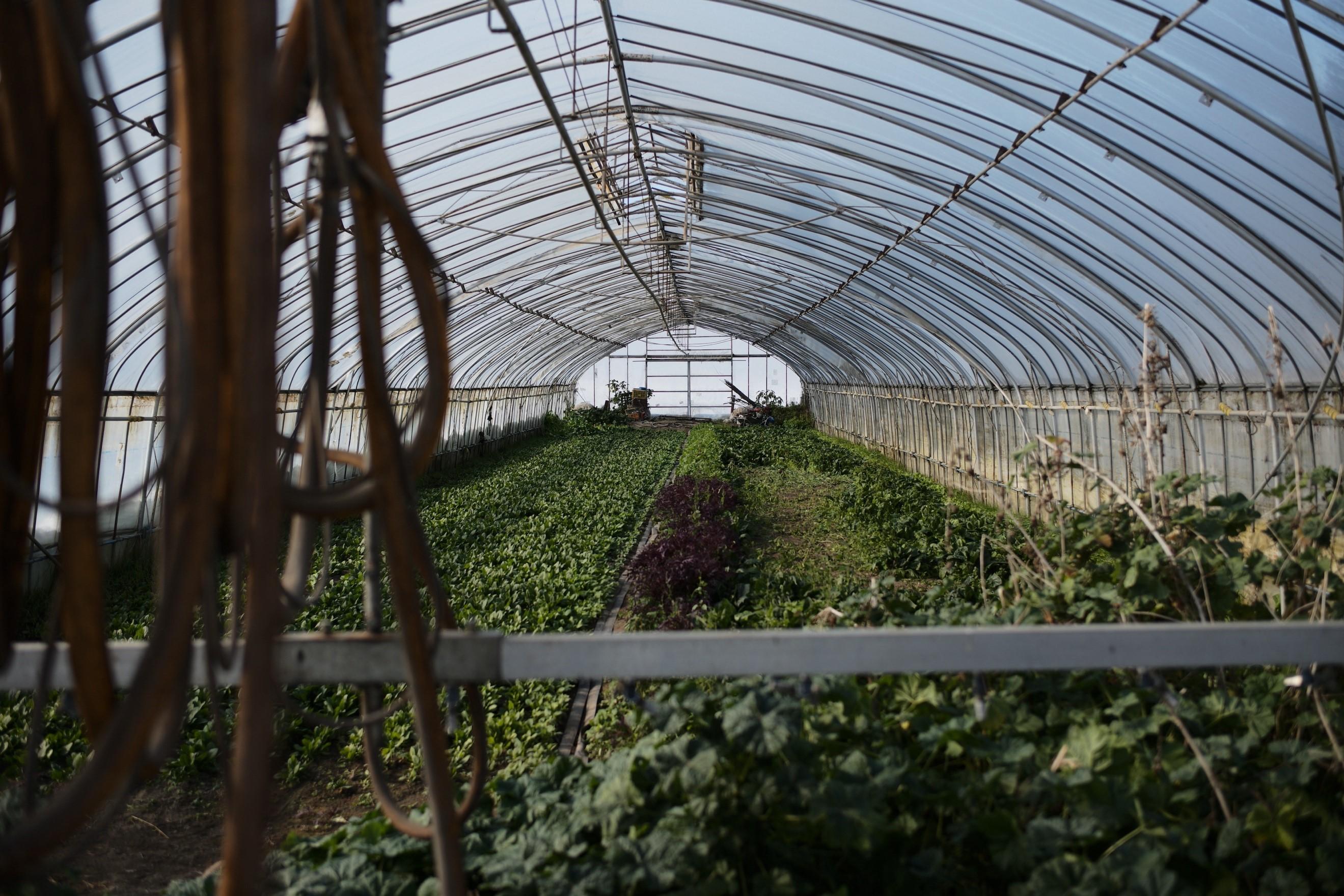 ビニールハウスでは、葉物野菜の数々が育てられていた