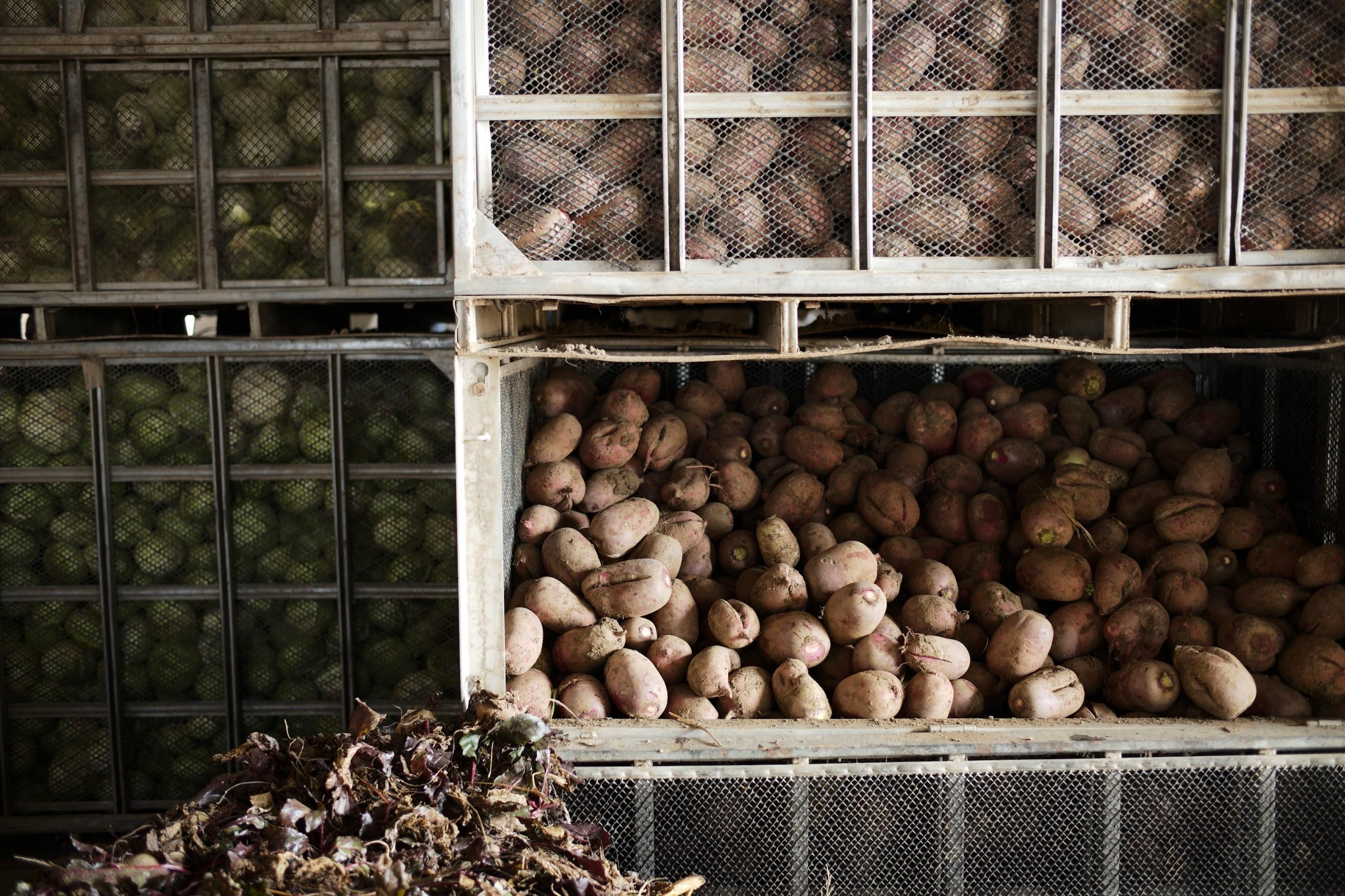 アイスシェルター内の大根やキャベツたちは、貯蔵することで糖度が増す