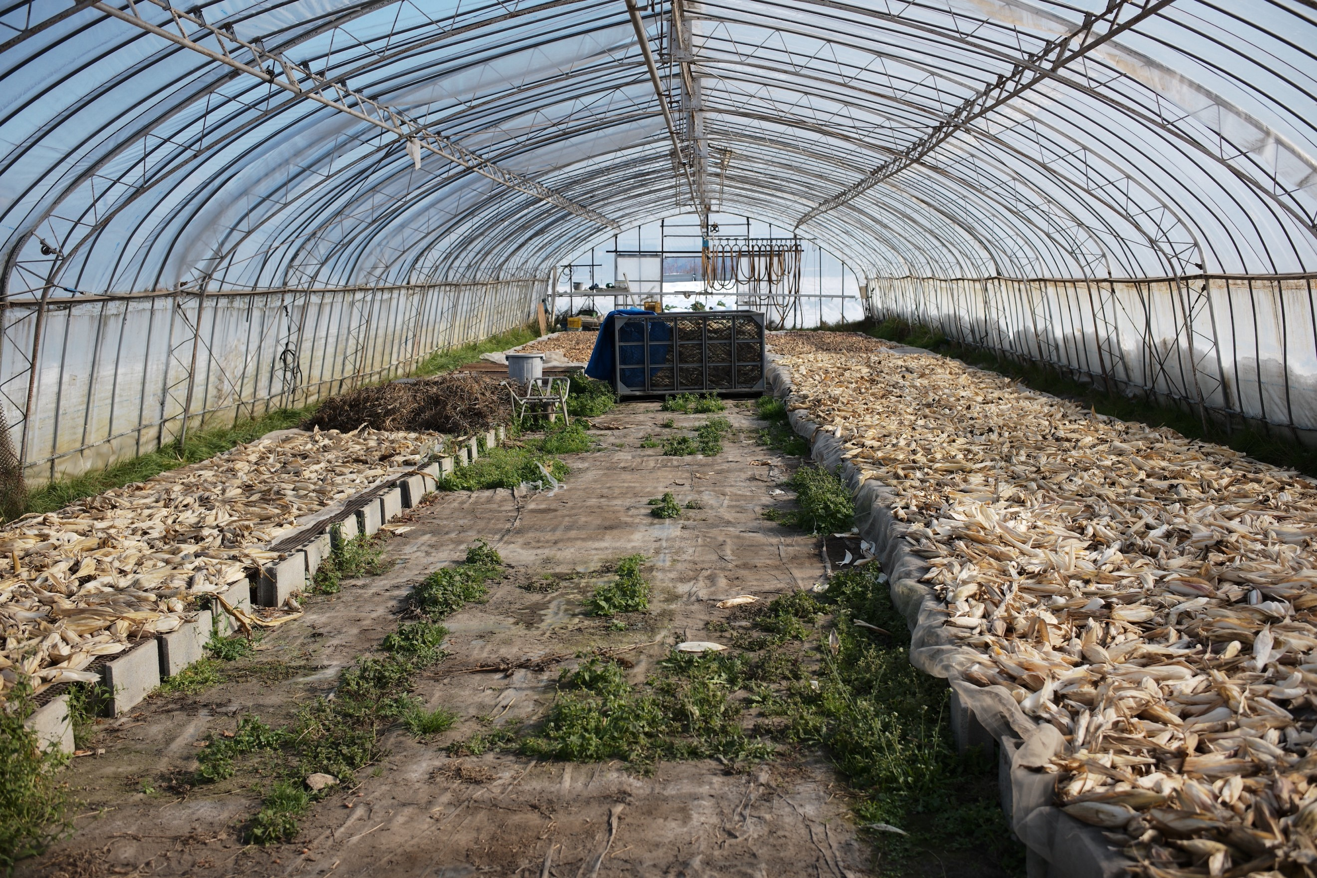 ビニールハウス内で乾燥作業中の玉ねぎ・ポップコーン